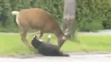 A dog takes a beating from a deer in Cranbrook, B.C., after being too close to its young fawn. June 9, 2010. (YouTube)
