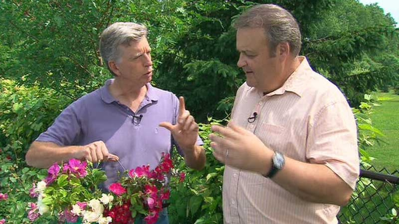 Gardening expert Mark Cullen shared his tips on cultivating roses on Canada AM on Wednesday, June 20, 2012.