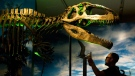 A man looks at the prehistoric dinosaur called Giganotosaurus as they take in the new exhibit called Ultimate Dinosaurs: Giants from Gondwana at the Royal Ontario Museum in Toronto on Wednesday, June 20, 2012. (Nathan Denette / THE CANADIAN PRESS)