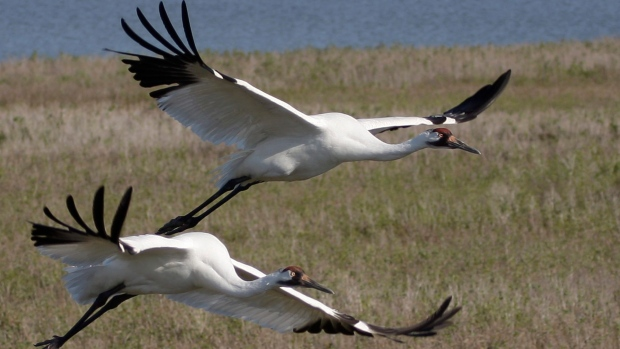 Whooping cranes fly over Texas