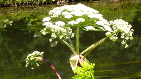 Giant Hogweed can grow up to 5.5 metres tall. It only flowers once in its lifetime between June and August.