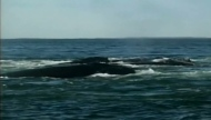 Right whales are seen in Canadian waters.