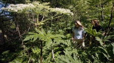 Conservation Lands Planner Victoria Maines, left, and Natural Heritage Ecologist Charlotte Cox walk through a patch of giant hogweed in Terra Cotta, Ont. on Monday, July 20, 2009. (Darren Calabrese / THE CANADIAN PRESS)