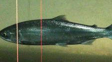 Sockeye salmon may have virus