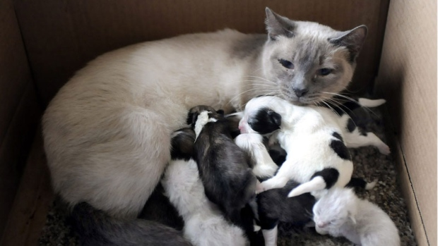 A Siamese cat and her kittens