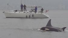 Orca pod visits English Bay