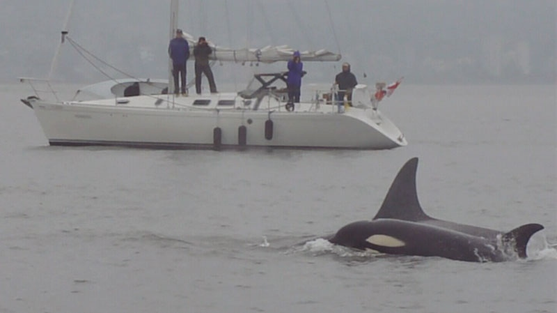 An orca pod is seen swimming off the coast of Vancouver on Monday, July 2, 2012. (CTV)