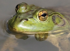 American bullfrog in Ohio