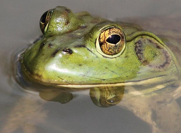 b c  frog hunter on mission to eradicate destructive