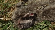 A Vancouver Island man is under investigation after allegedly bludgeoning a mother raccoon and her baby to death with a hockey stick.  July 20, 2010. (CTV)