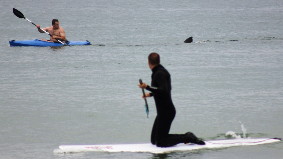 Walter Szulc Jr., in kayak at left, looks back at the dorsal fin of an approaching shark at Nauset Beach in Orleans, Mass. in Cape Cod on Saturday, July 7, 2012. (AP / Shelly Negrotti)