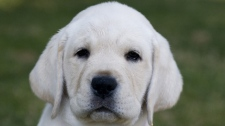 A B.C. guide dog program that calls itself a victim of its own success is looking for temporary homes for 13 puppies. The Pacific Assistance Dog Society is overwhelmed with Labrador retriever pups after it had a 100 per cent breeding success rate instead of its usual 50 to 75. (Shelley Moore for ctvbc.ca)