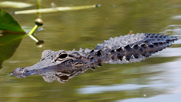 Florida man attacked by alligator