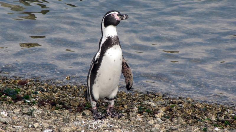 A Humboldt penguin walks along the coast of Pajaro Nino Island, Chile in April, 2012.