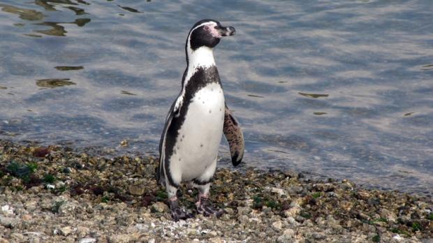 In this photo taken April 2, 2012, a Humboldt penguin walks along the coast of Pajaro Nino Island, Chile. (AP Photo/Paulina Arce)