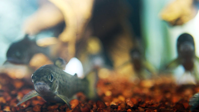 Young Atlantic Salmon are seen in the National Fish Hatchery in Nashua, New Hampshire, Monday, April 2, 2012. (AP / Jim Cole)