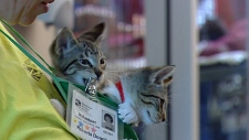 Two cats hang off a volunteer at the Feline Groovy Festival at the Edmonton Humane Society Saturday.
