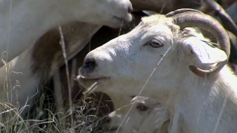 A man dressed as a goat was spotted in a herd of actual goats in Utah.