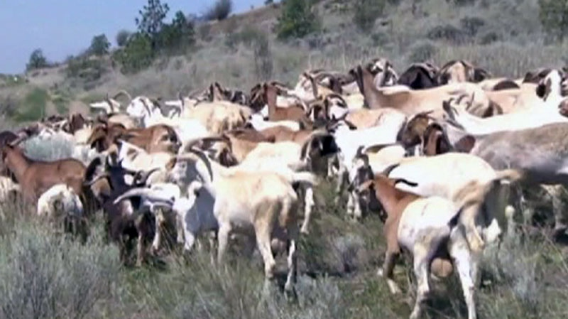 Goats are herded through the grasslands of B.C. in this undated photo from video.