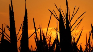 Corn stalks are shown struggling in the heat in this file photo.  (AP Photo/Seth Perlman)
