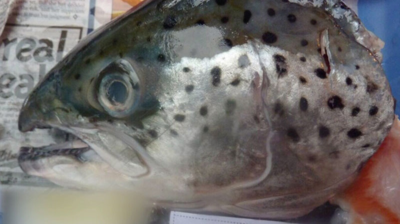A farmed salmon sold in a B.C. supermarket.