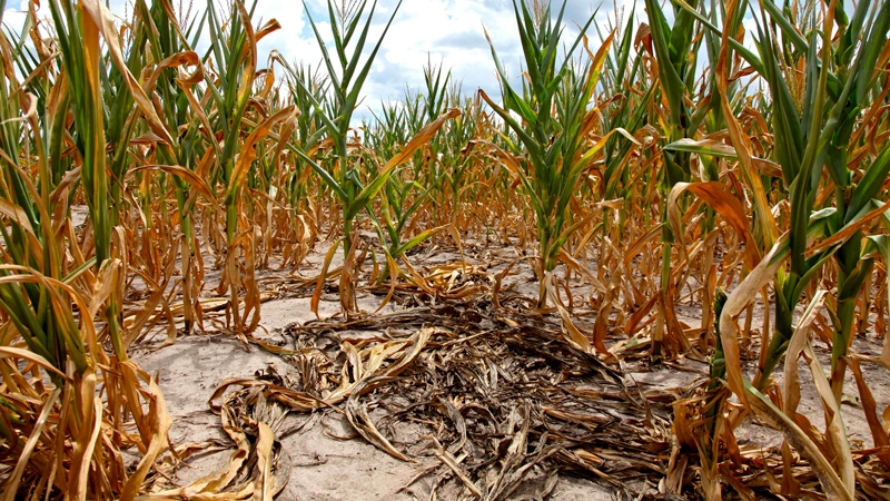 Burnt stalks lie on the ground among rows of corn damaged by drought in a parched field in Louisville, Ill. on Monday, July 16, 2012. (AP / Robert Ray)