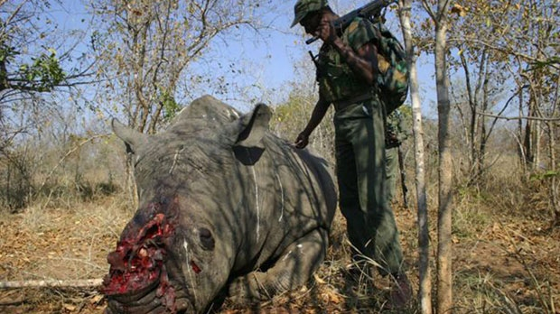 Dead rhinoceros rhino poaching South Africa