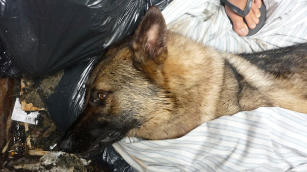 German shepherd found in dumpster