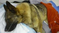 German shepherd found in dumpster