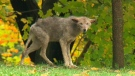 Police were unable to capture this elusive coyote in Mississauga, Ont., on Thursday, Oct. 20, 2011. Another coyote was spotted in Riverdale Park on Wednesday, July 18, 2012.