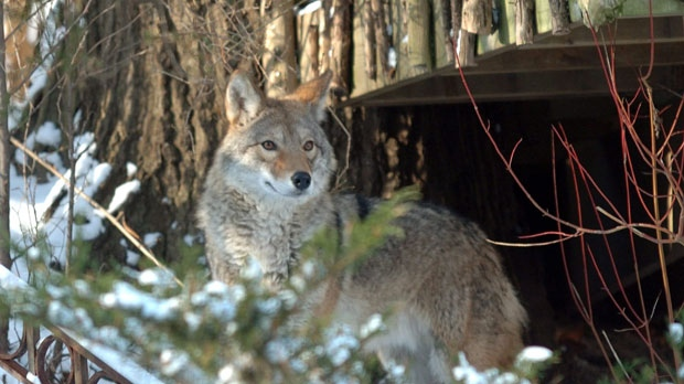 A coyote peers down from a backyard of the Neville Park ravine in the Beach neighborhood in Toronto on Wednesday, Dec. 31, 2008. (Silvio Santos / THE CANADIAN PRESS)