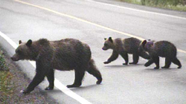 The wildlife crossings keep bears off busy highways in Banff.