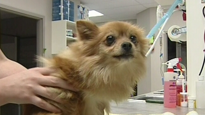 This 10-pound Pomeranian was paralyzed after being beaten with a hockey stick.
