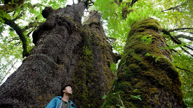 File. Ken Wu, of the Ancient Forest Alliance, stands next to the San Spruce tree near the Avartar Grove outside Port Renfrew on Vancouver Island, B.C. Thursday, Sept. 29, 2011. The San Spruce is the biggest recorded spruce tree in Canada and the second largest in the world. (THE CANADIAN PRESS/Jonathan Hayward)