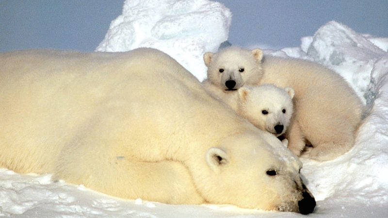 In this undated file photo released by the U.S. Fish and Wildlife Service, a sow polar bear rests with her cubs on the pack ice in the Beaufort Sea in northern Alaska.  (AP Photo/U.S. Fish and Wild Life Service, Steve Amstrup, File)