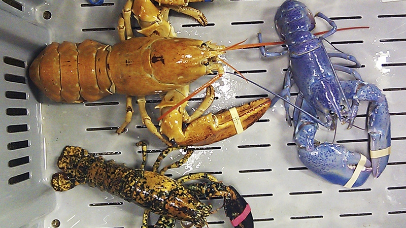 A bright orange, left, a bright blue, right, and a calico lobster are shown at New Meadows Lobster in Portland, Maine, Tuesday, June 26, 2012. (AP / Rebecca McAleney)