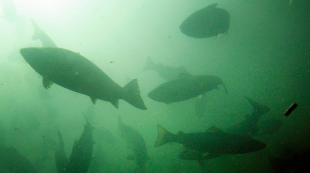 Atlantic salmon swim in a fish farm pen.