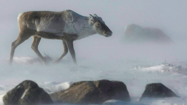 A wild caribou roams the tundra near The Meadowbank Gold Mine located in the Nunavut Territory of Canada on March 25, 2009.  (Nathan Denette / THE CANADIAN PRESS)