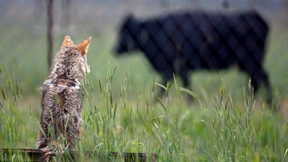 A coyote looks on from an enclosure as a cow walks past at the Millville Predator Research Facility in Millville, Utah, Thursday, June 11, 2009. (AP / Colin Braley)