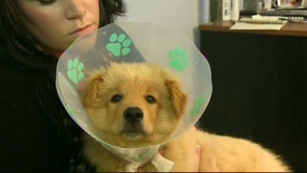 Puppies Attacked By Pit Bulls Ctv Atlantic News
