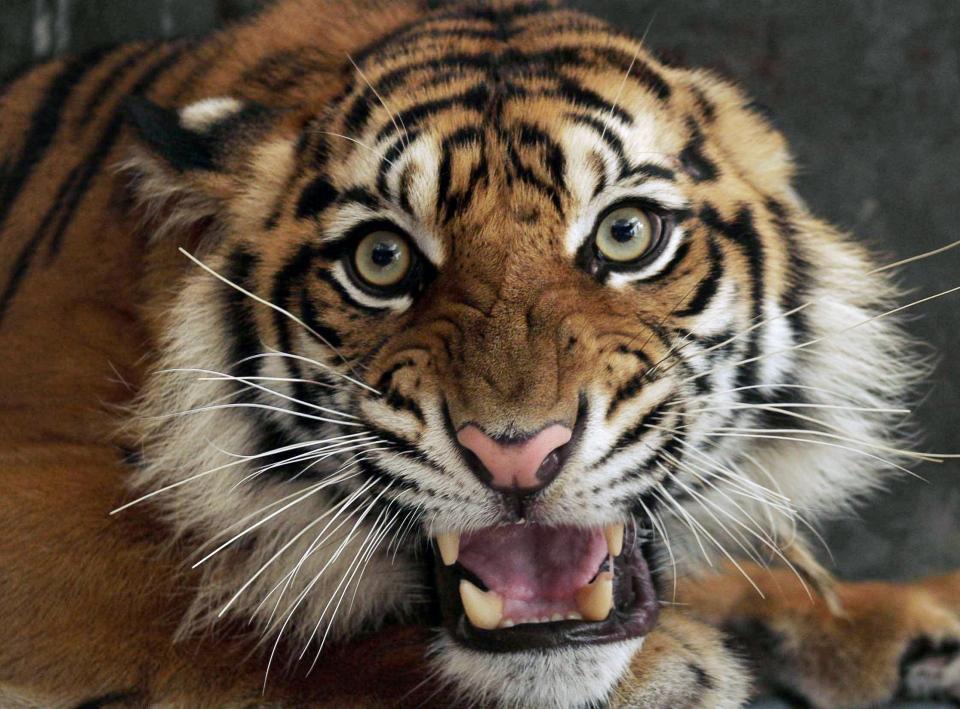 A Sumatran tiger is shown in Indonesia in this 2009 file photo. (AP / Heri Juanda)