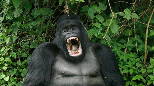 Gorilla, endangered species
