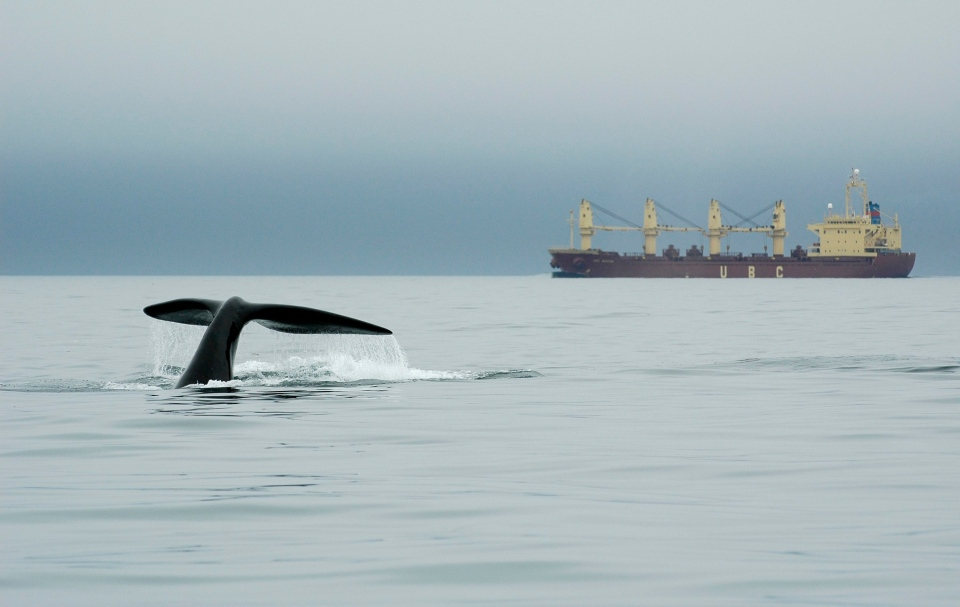 In this Sept. 10, 2007 photo released by the New England Aquarium, a right whale dives near a ship in Canada's Bay of Fundy. (New England Aquarium)