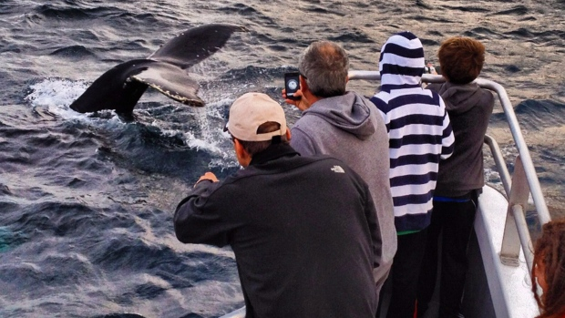 humpback whales, newfoundland, mutt and jeff