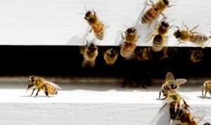 Bees come and go from a bee hive in West Bath, Maine on Monday, April 30, 2012. (AP / Pat Wellenbach)