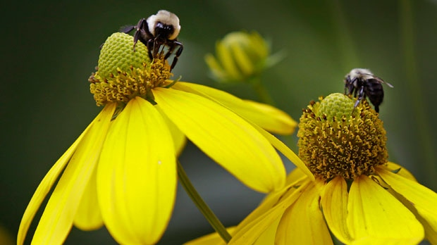 Bees collect pollen from flowers in Matthews, N.C., on Thursday, July 12, 2012. (AP Photo/Chuck Burton)