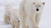 <b>Polar Bear</b>