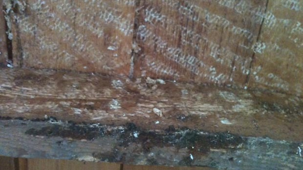 Traces of honeycomb that was removed can be seen in the ceiling of a home that was infested with bees in Varney, Ont. on Tuesday, July 31, 2012.
