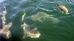 A school of 250 to 300-pound bull sharks close in a redfish being caught in the Gulf of Mexico out of Sabine Pass near Port Arthur, Texas.  (AP Photo/The Beaumont Enterprise, Pete Churton)