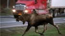 A moose races toward a road in Alaska in this file photo. (Anchorage Daily News / Bob Hallinen)